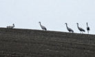 A pair of cranes are reproducing in the region – the first to do so for more than 400 years