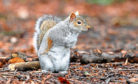 The public are being asked to keep a lookout for grey squirrels