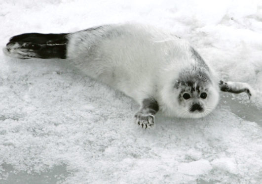 A young harp seal, similar to the one found at Balmedie, whose cause of death is being investigated