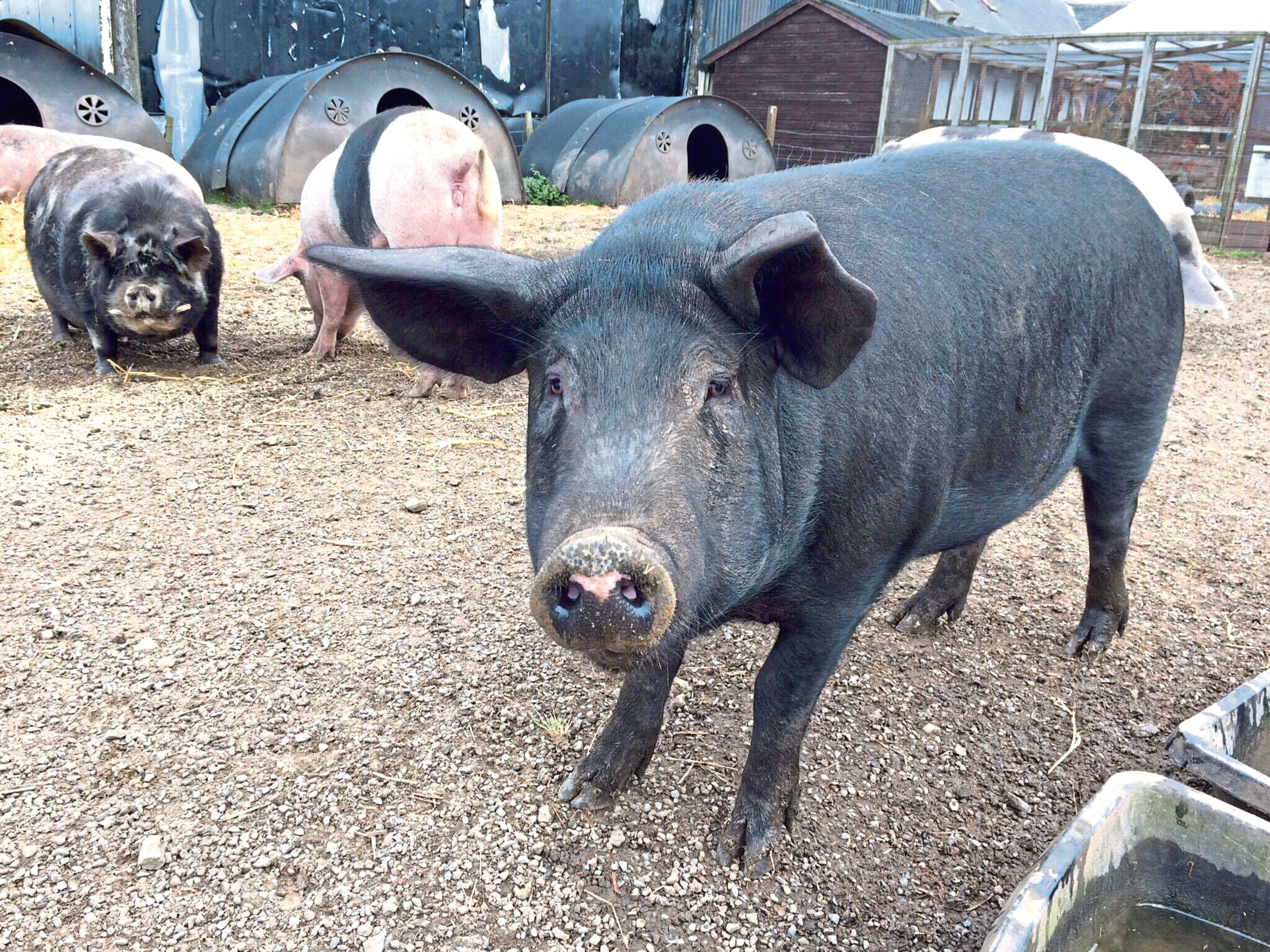 Norman the pig at Willows animal sanctuary