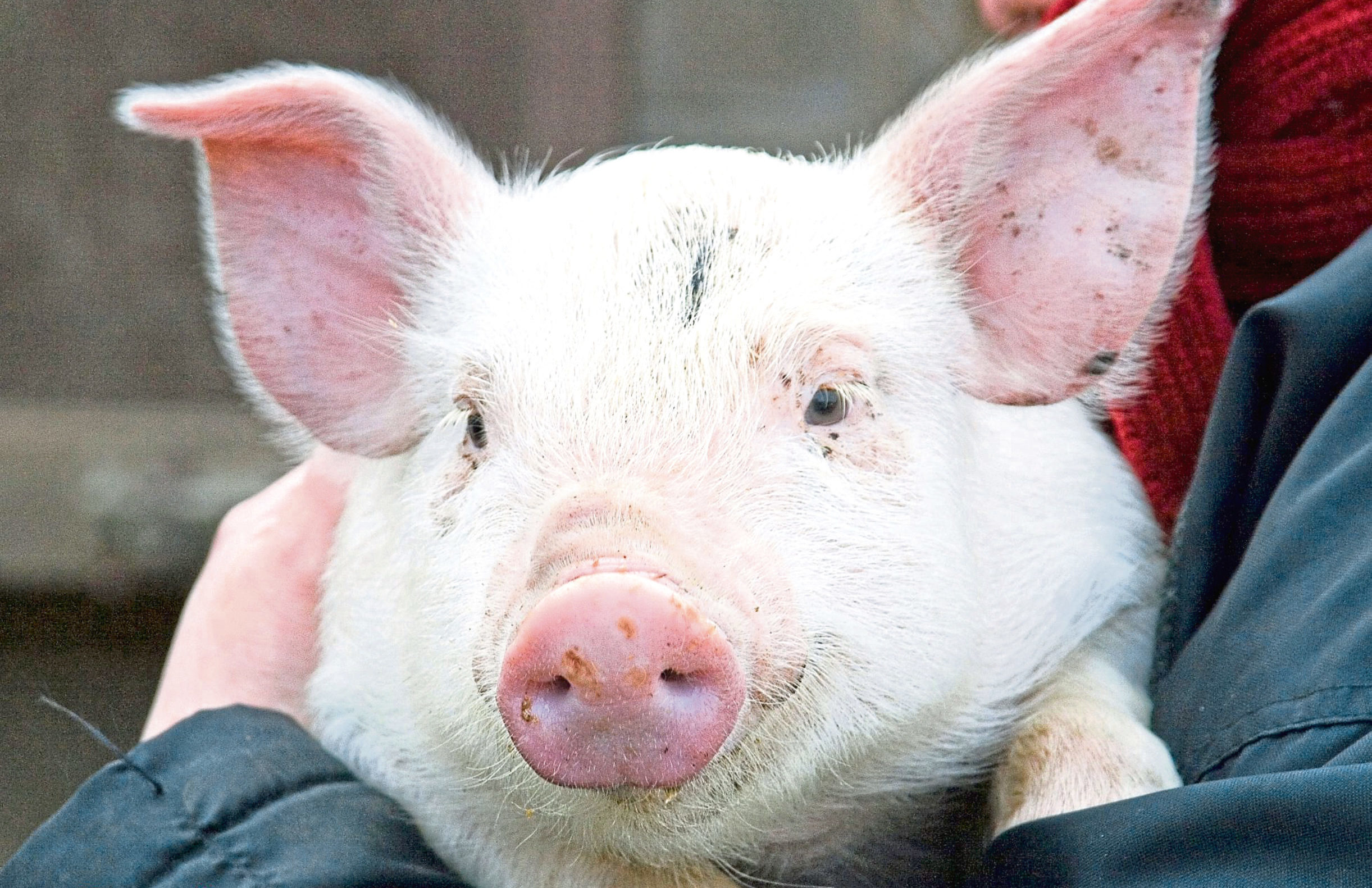 Babe the pig has passed away