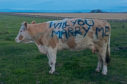 Chris Gospel and his cow Curlytop worked together to ask his girlfriend to marry him