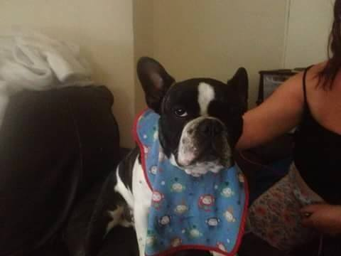 Nine-month-old French Bulldog Harry has been taken from Northfield
