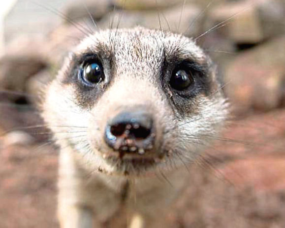 New meerkat named Don has arrived at Hazlehead's Pets Corner