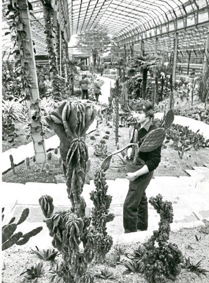 1980: A staff member inspects the cacti in the Duthie Park Winter Gardens