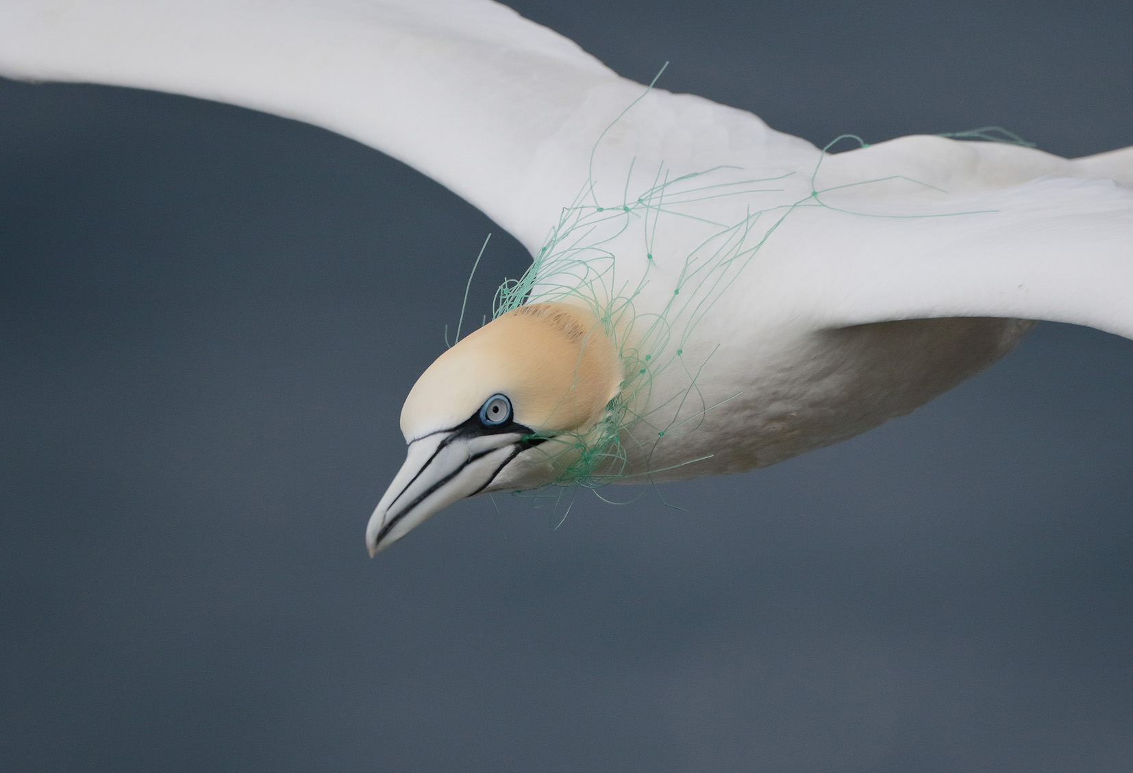 Gannet in Fishing Net © Robbie Brookes, Shetland - winner of Scottish Nature Photography Awards Environmental category 2017