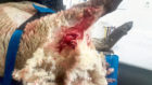 The sheep was severely injured in the attack by the dog
