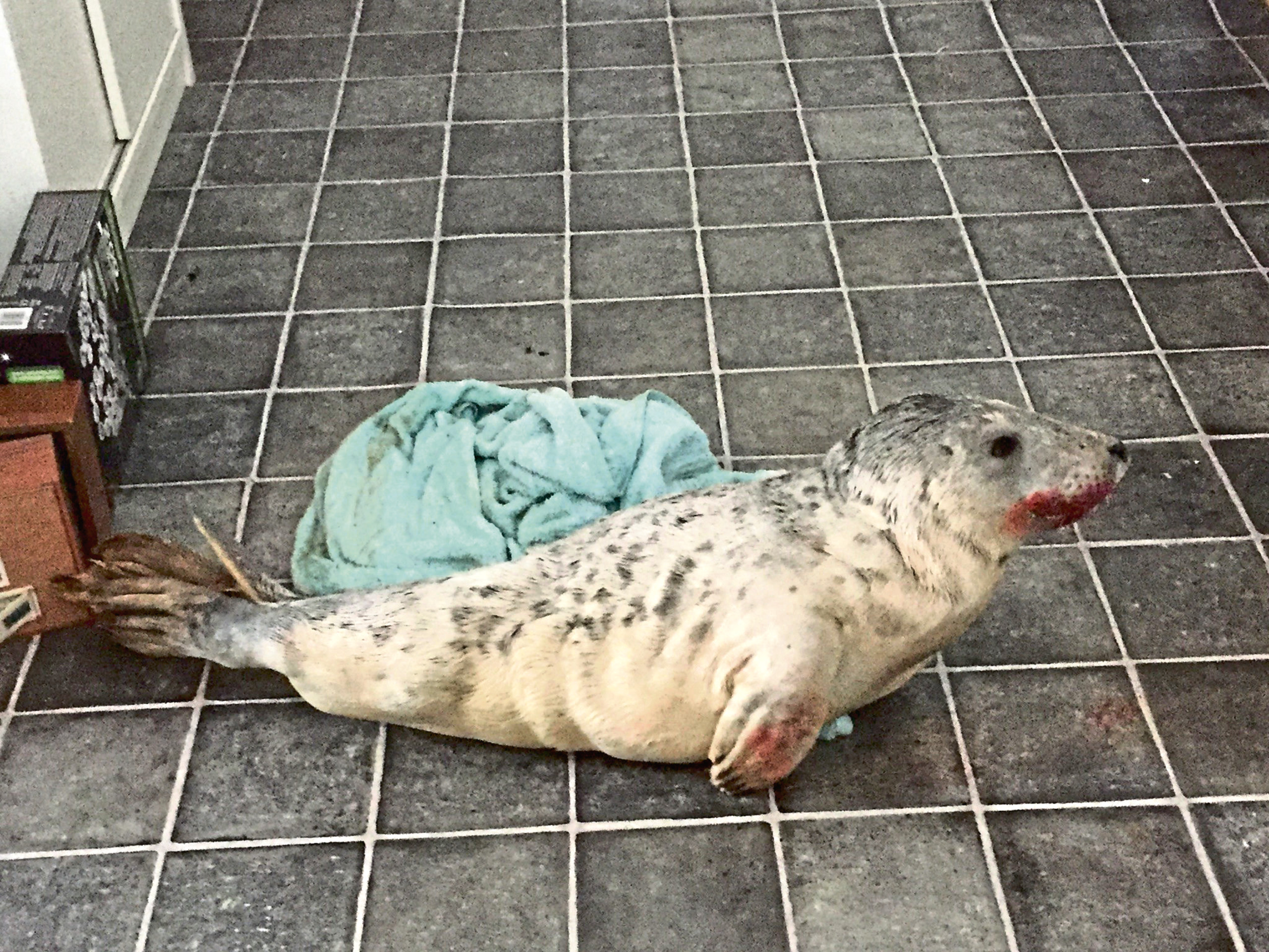 Snowie the seal