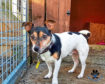 Oscar the Jack Russell terrier