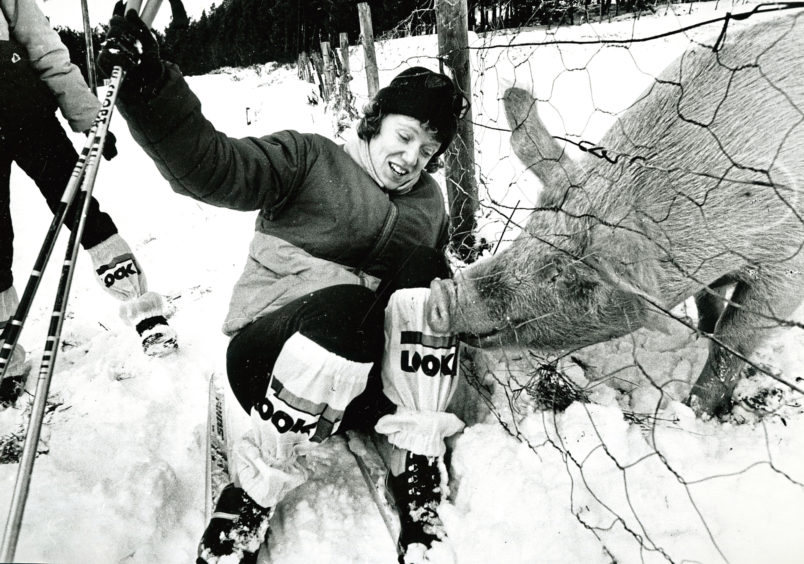 1991: Jill Davidson finds the snow is not her only adversary when she met up with this pig while skiing in Corgaff