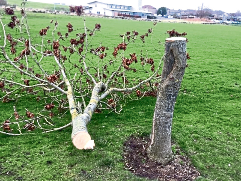 So far five trees have been cut down in Cove, including in Catto Park