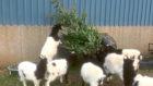 Sarah Pumfrett feeds her herd of goats Christmas trees