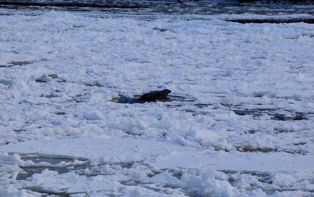 A seal on the frozen river today