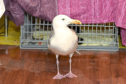 The seagull is recovering at the New Arc centre in Ellon