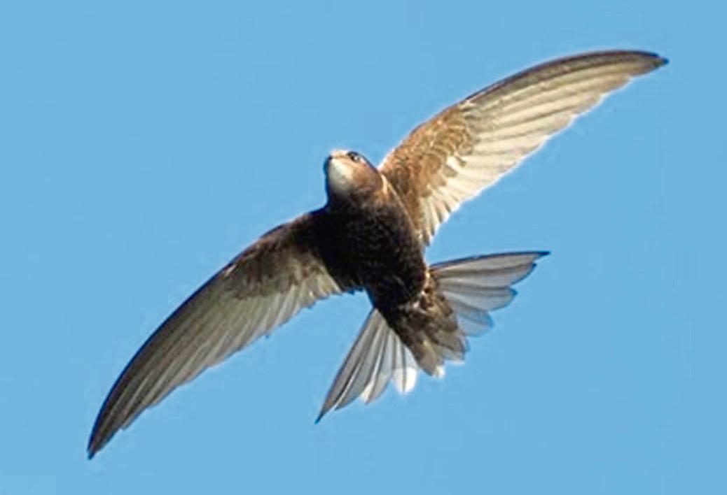 A swift in flight.