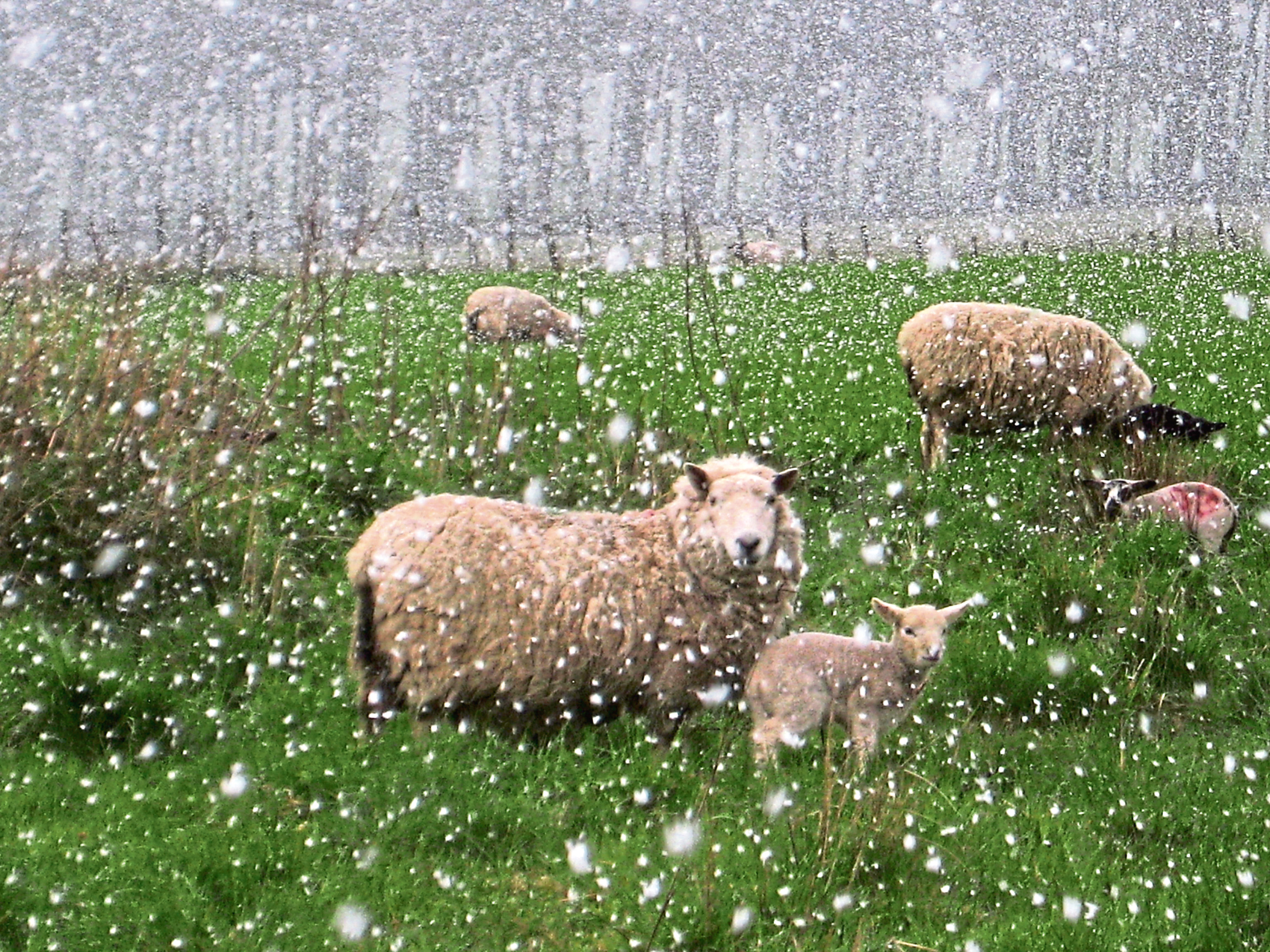 Sheep were caught in snow at Tarland