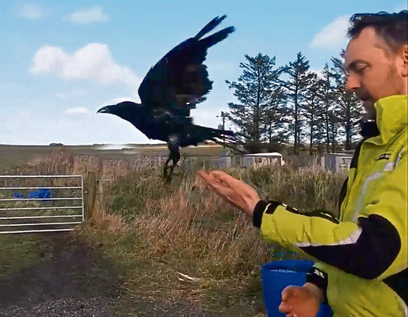 A crow who came in injured last summer.  Animals being released at New Arc Ellon over the last 6 monthes Stills from there Facebook video 15/05/19