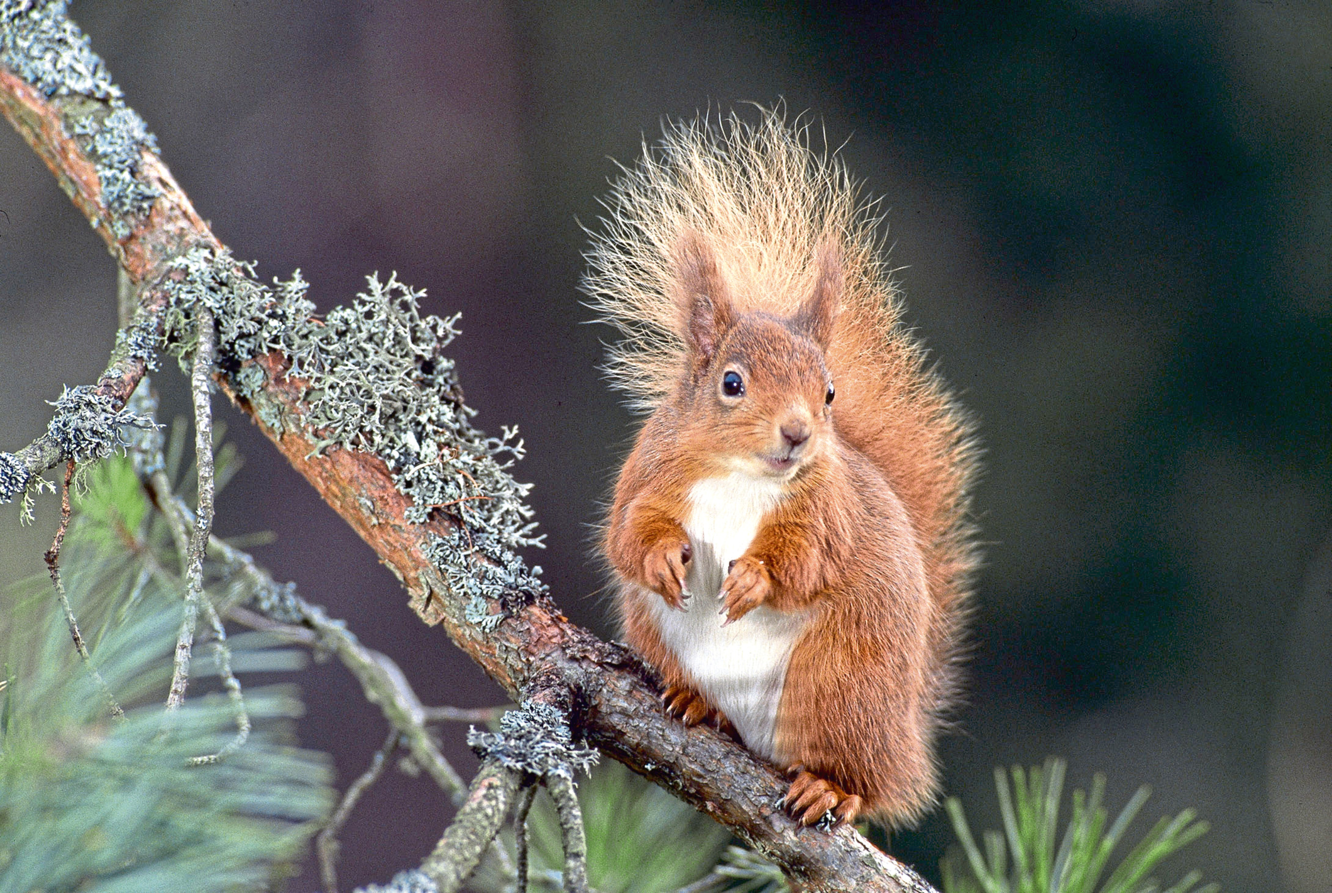 Saving Scotland's Red Squirrels encourages more people to log sightings of red and grey squirrels across the country.