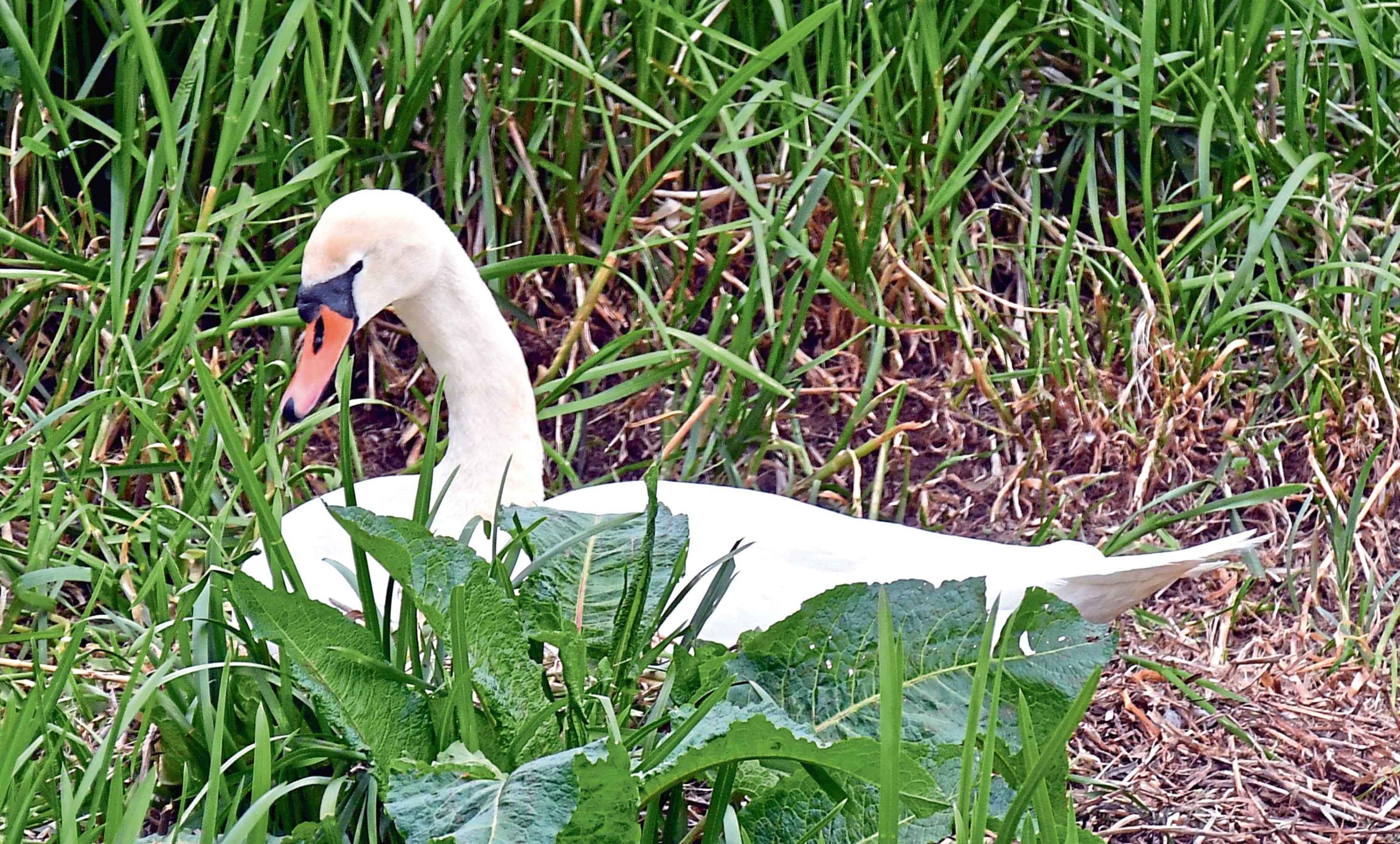 A swan nesting on an island in the river Ythan at Ellon