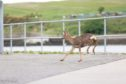 The deer at the beach yesterday