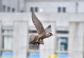 The peregrine falcon hunts and kills a pigeon on Queen Street, Aberdeen