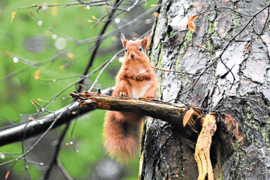 Red squirrel kits have started leaving their dreys