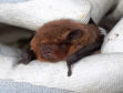 There are record numbers of soprano pipistrelles roosting at Haddo House