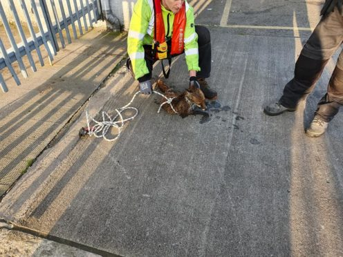 The fox was rescued using a lasso