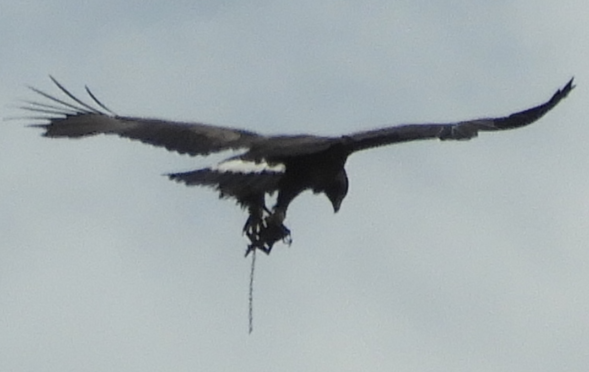 A tourist raised concerns for the eagle's welfare after spotting it flying in Crathie, Deeside on Thursday