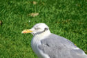 Lesley Morrison snapped the image of the bird in Elgin's Cooper Park yesterday