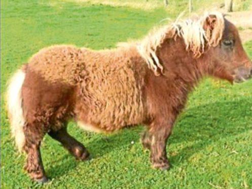 Shetland Pony Itsy