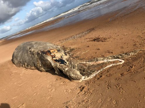 The carcass was found by a dog walker on the beach at Blackdog. Picture: Jill Runcie