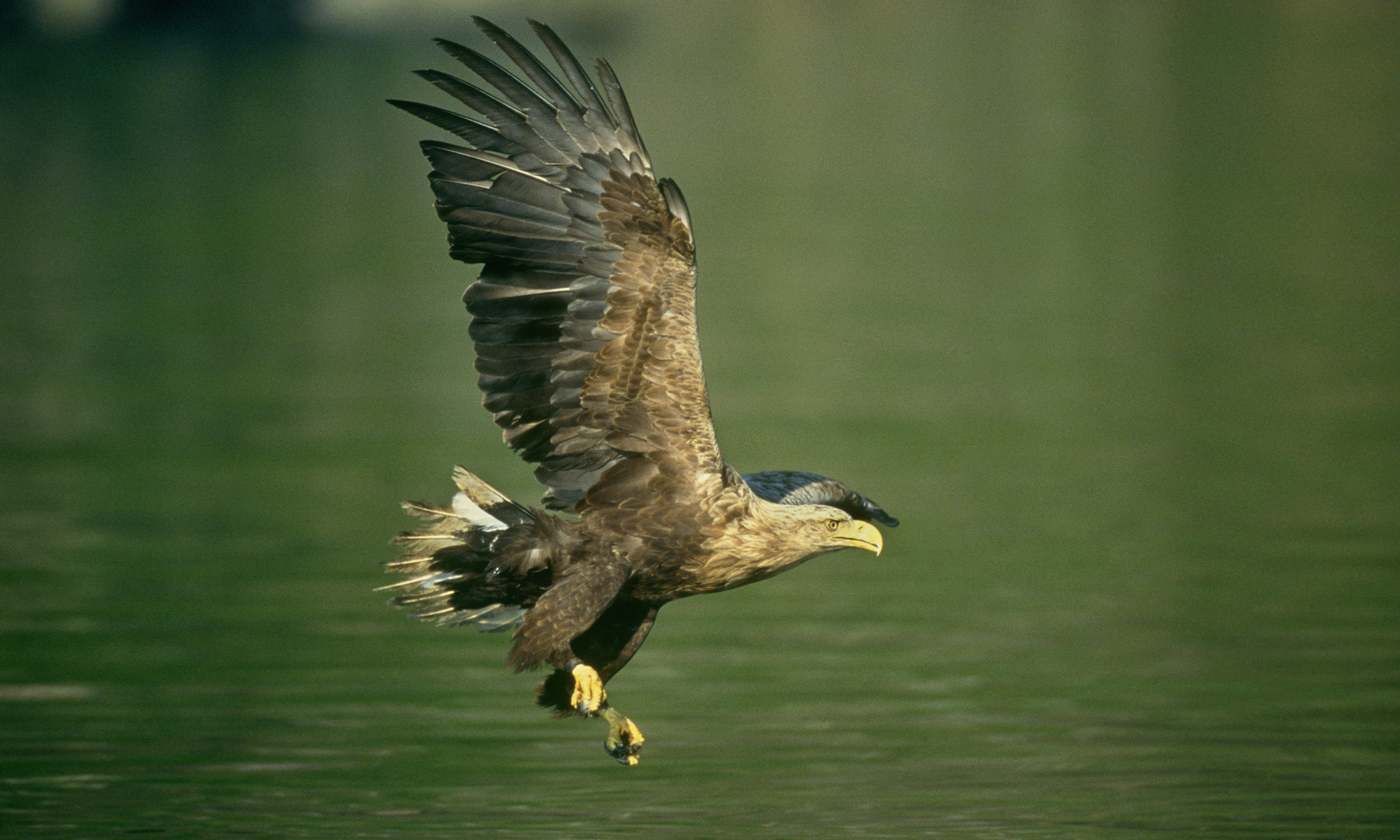 White-tailed eagle adult stooping for fish