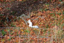 The rare white squirrel was spotted in Aberdeenshire