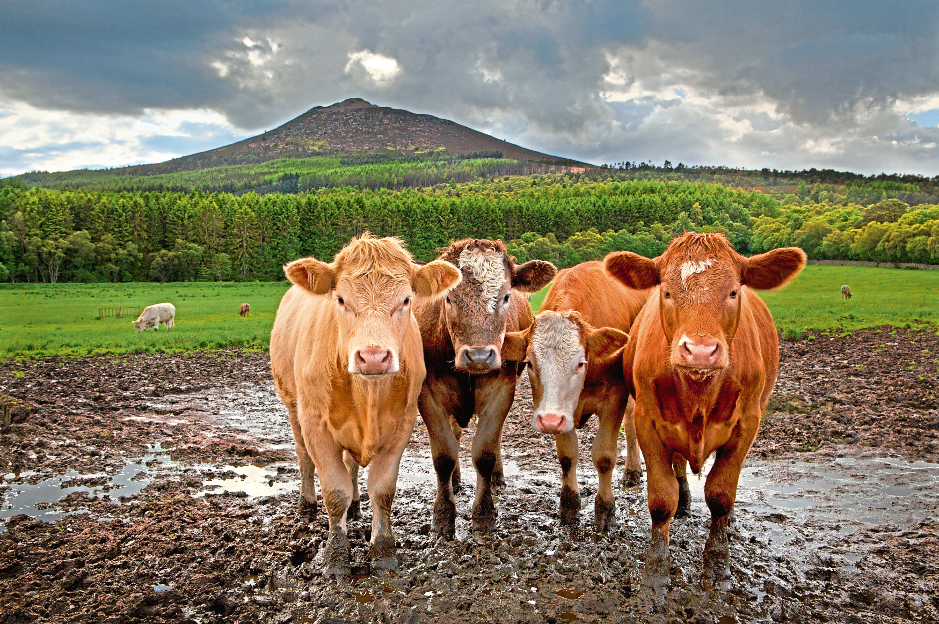 Cattle caused a power cut this morning