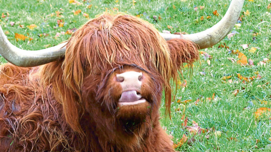 Susan Mackie entered this snap of a Highland cow into the contest