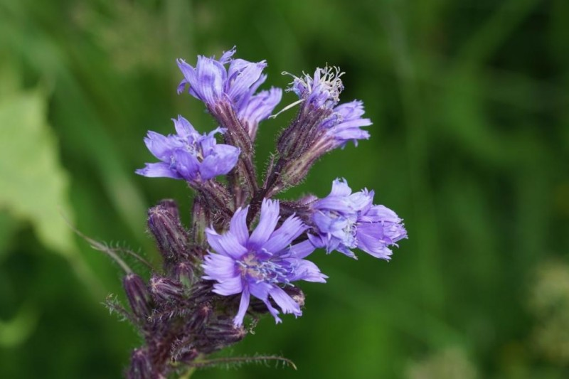 The alpine blue-sow thistle
