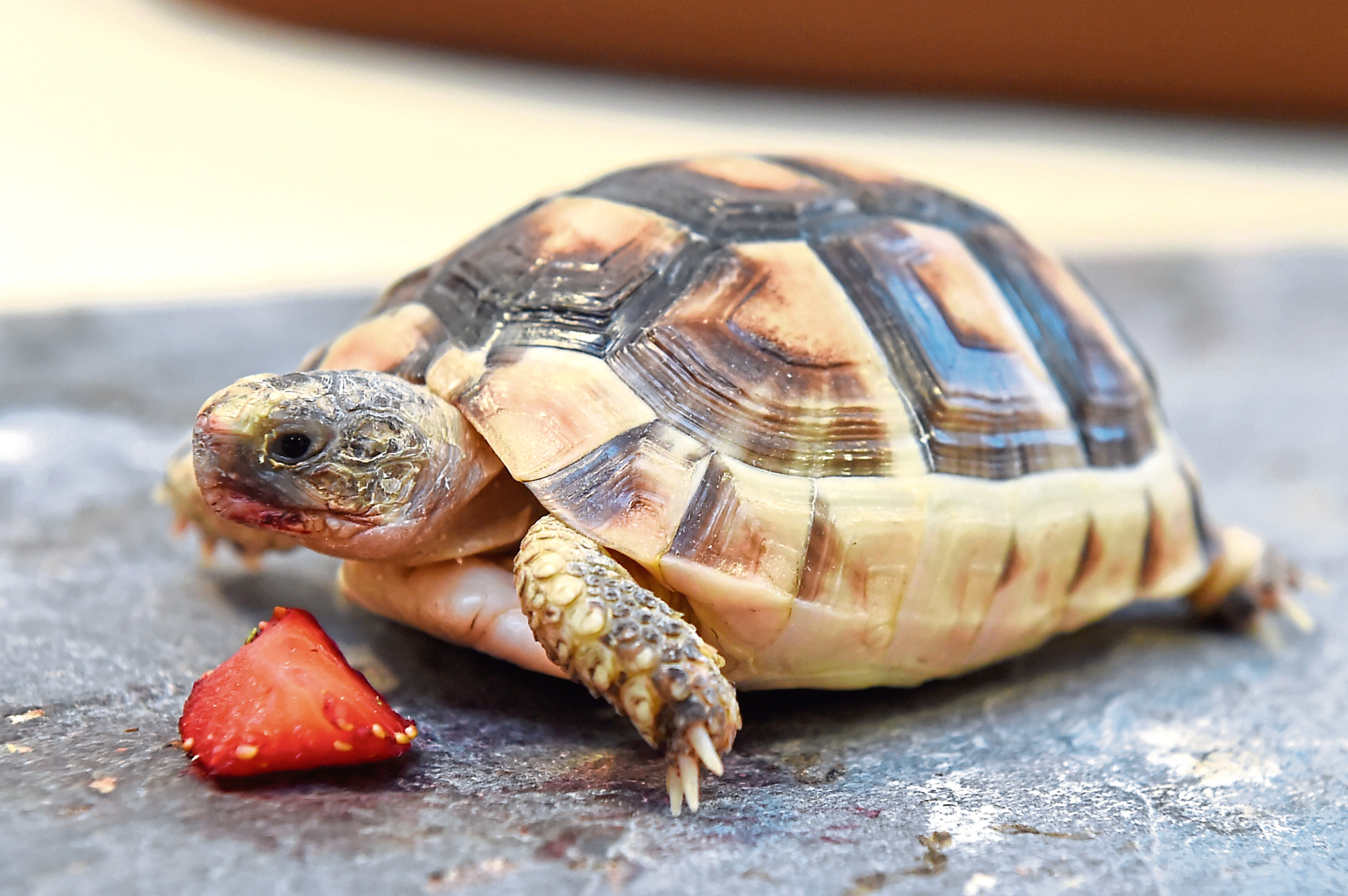 Meshell the tortoise. Picture by Kenny Elrick