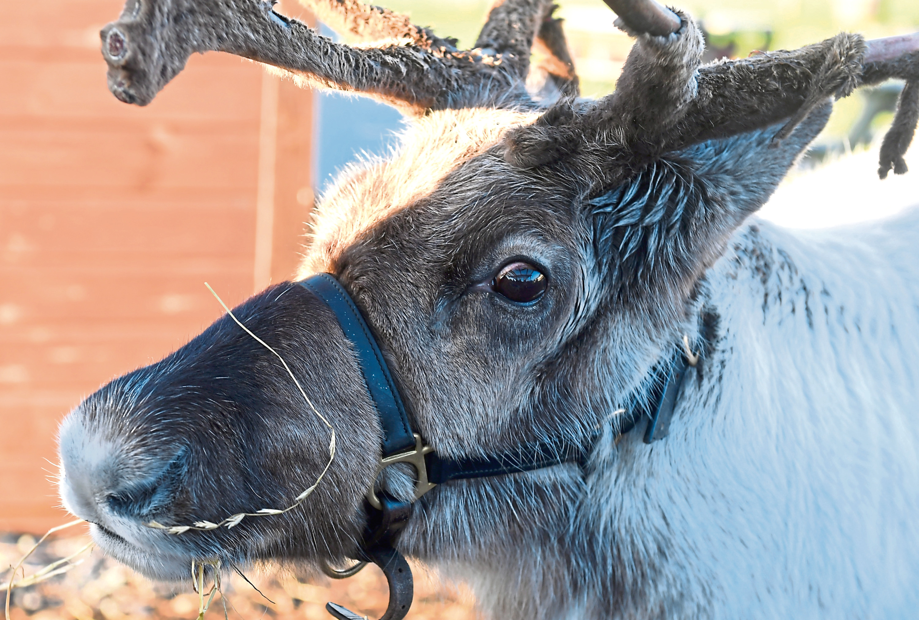 One of the reindeer at the sites