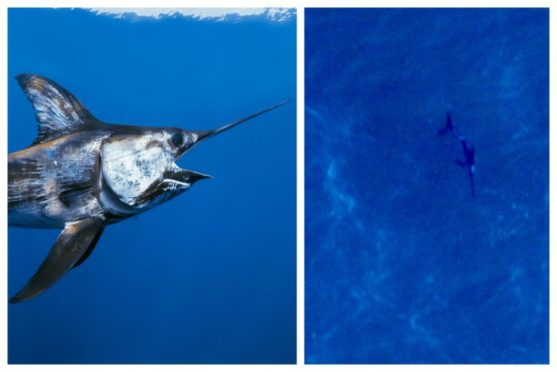 An aerial drone survey spotted the swordfish at the Seagreen wind farm site. Left pic: Jeff Rotman/ Blue Planet Archive