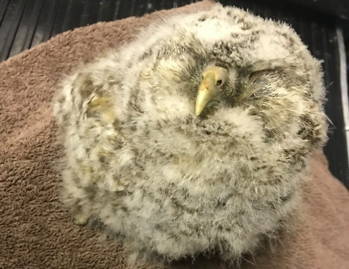 Rescue owl Doodles is recovering at New Arc