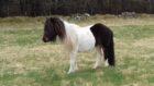 The stray pony found near Counteswells Woods
