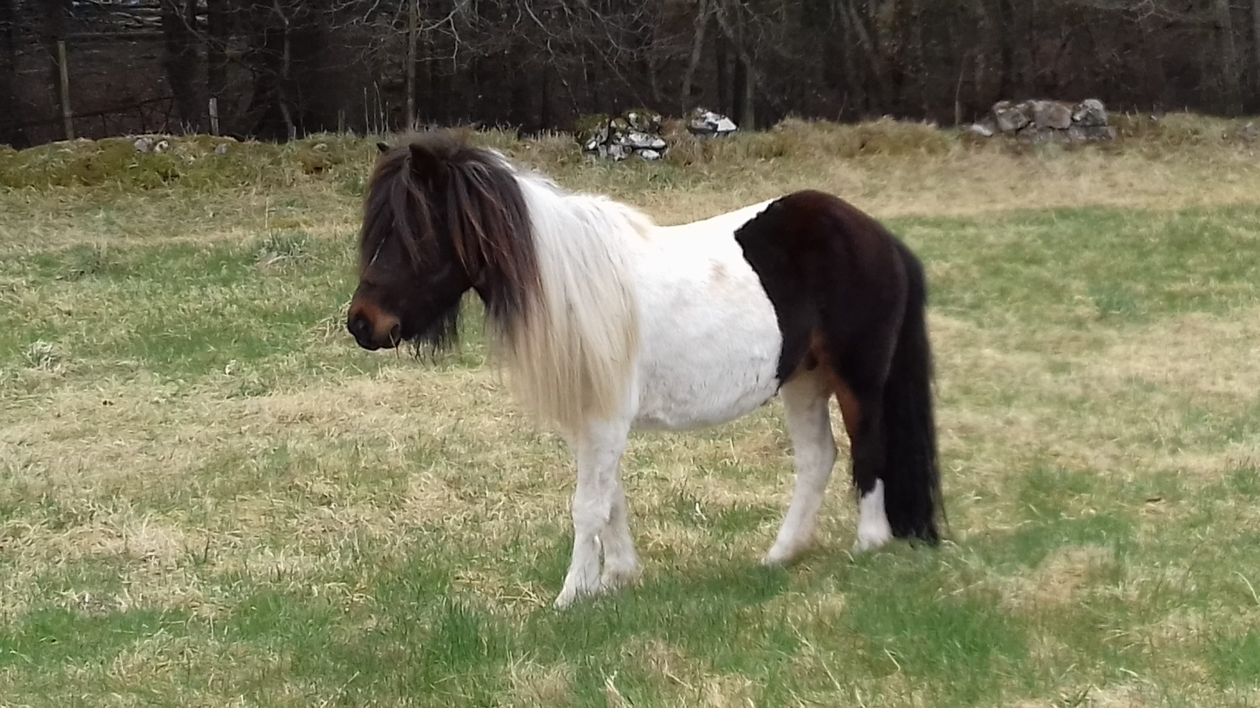 The stray pony found near Counteswells Woods