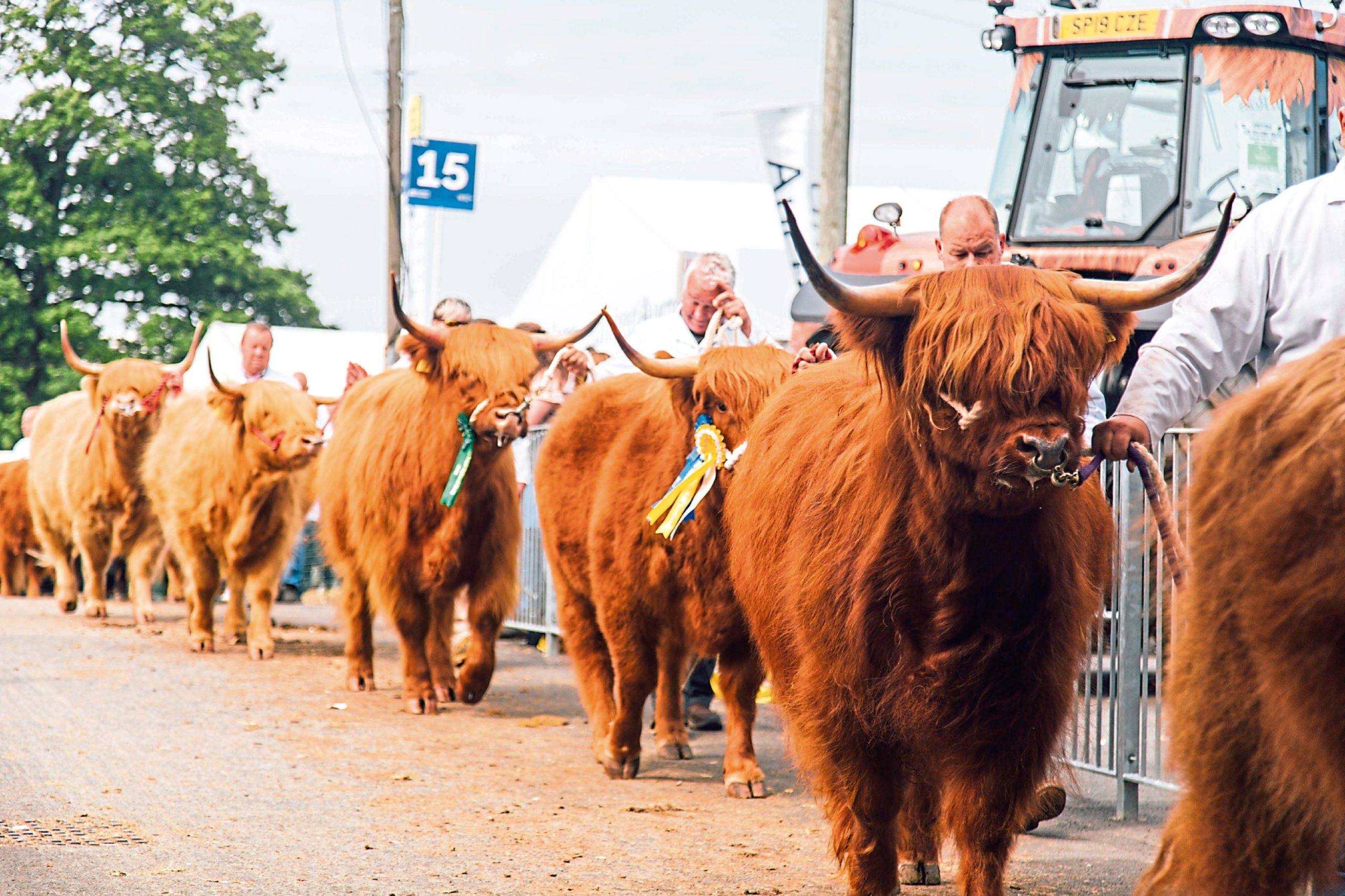 The Highland Cattle is one of the 11 classes of cow being judged in the event.