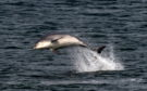 A dolphin was caught on camera near Aberdeen Harbour. Image by Kenny Elrick