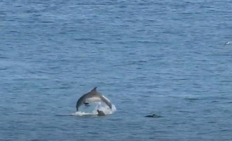 Dolphins spotted near Bridge of Don