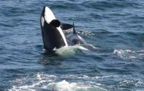 Orcas seen surrounding the vessel