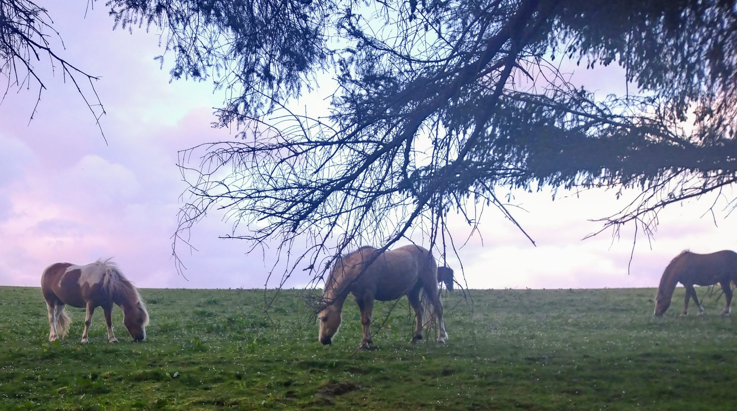A study is looking at the causes of pasture-associated laminitis in native-breed ponies