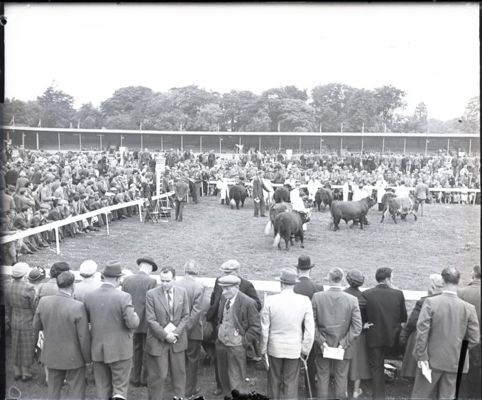 1959: Cattle in the show ring for judging at the Royal Highland Show, Hazlehead Park, Aberdeen.  July 1959.