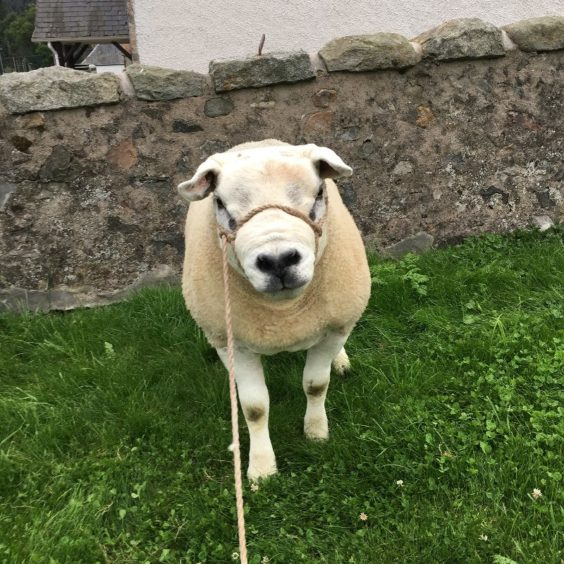 151 - Forbes (Texel - Sheep)